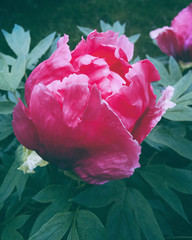 Fototapeta Peonie Gentle Pink Peony flower bud with green leaves in garden with background. Romantic Floral beauty at spring. Beautiful Postcard or wallpaper in summer blooming. Delicate and pretty bouquet. Toned