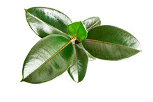 Ficus Elastica (Rubber Plant) Isolated On White Background. Top View.