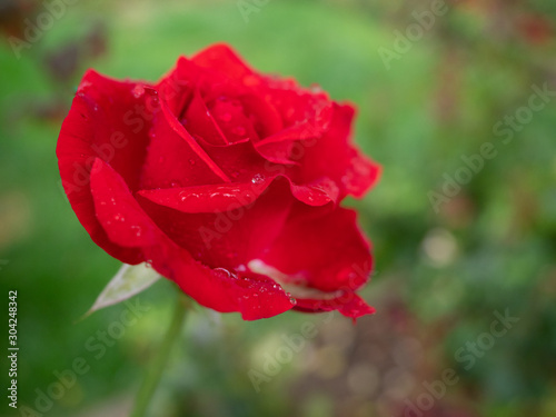Detail of a Red Rose with Raindrops