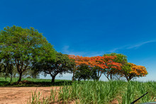 Flamboyant Flowering Tree With...
