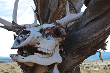 The Old Dry Deer Skull Hanging On The Tree Branches In The Desert Sunlight.