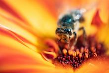 Macro Bee In Center Of Yellow Flower