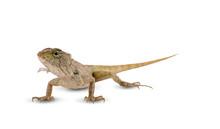 Chameleon An Isolated On White...