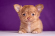 canvas print picture - Chihuahua puppy on purple background. Nice portrait.