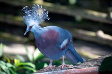 Victoria Crowned Bird (Goura Victoria),