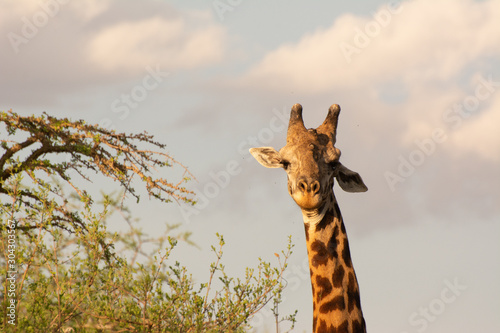 giraffe and acacia tree portrait in tsavo kenya Wallpaper Mural