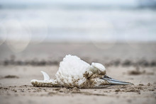 Cadaver Of Gannet On The Beach