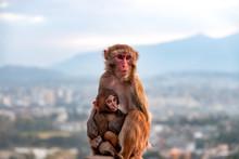 Mother Monkey Breastfeeding Ba...