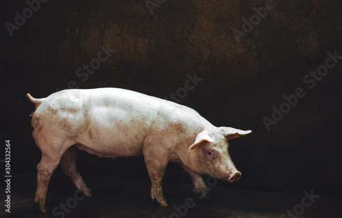 Cuadros en Lienzo  pig farm industry farming hog barn pork