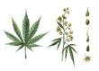 Beautiful watercolor medical marijuana illustration. Natural therapeutic drug.