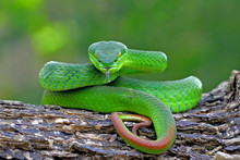 Green Insularis Pit Viper, Whi...