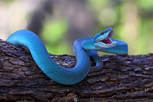 Blue Insularis Pit Viper Snake...