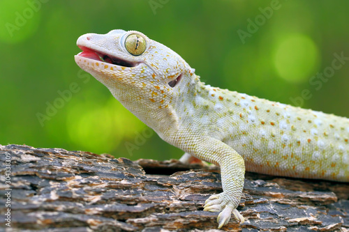 Photo tokay gecko on the branch of wood