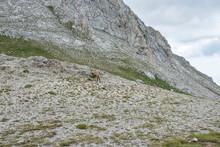 Wild Goat (Rupicapra Rupicapra...