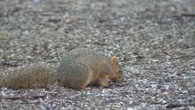 Fox Squirrel Eating Black Hills Ground Winter
