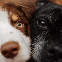 Close Up Portrait Of Young And Old Dogs Together