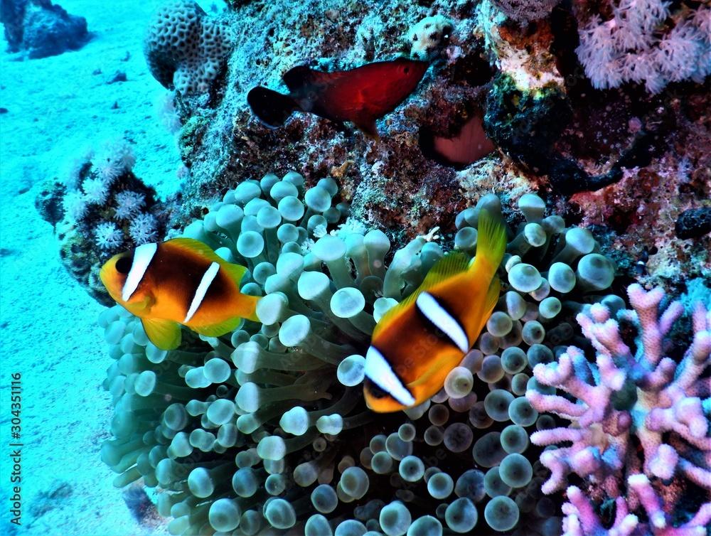 Fototapeta Morze Czerwone ryba koral nurkowanie podwodne