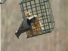Nuthatch White-breasted
