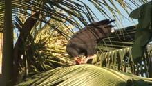 Common Black Hawk Adult Eating...