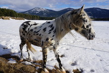 White Appaloosa Horse In The Snow