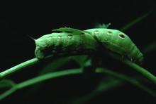 Ash Sphinx Moth Caterpillar (Manduca Jasminearum)