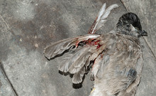 Sparrow Killed By Man With Air...