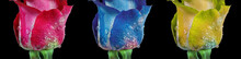 Red, Blue And Yellow Roses On A Black Background. Colorful Roses In Drops Of Water
