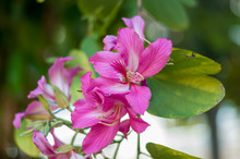 Bauhinia Purpurea L, Chongkho Flowers In The Park.