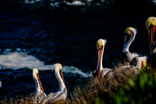 Colorful Brown Pelicans With Yellow Heads Resting On Rocky Cliff Above Pacific Ocean In La Jolla Marine Reserve North Of San Diego California
