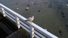 Large Gray Seagull On The Pier