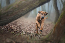 Beautiful Rhodesian Ridgeback Dog Running Towards The Camera.