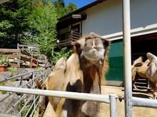 Trampeltier (Camelus Ferus)