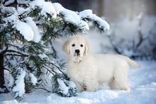 Golden Retriever Puppy Posing Under A Pine Tree In Winter