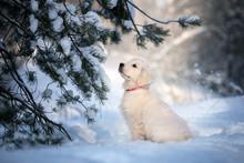 Golden Retriever Puppy Sitting...