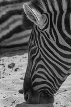 Plains Zebra In The Etosha Par...