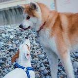 Fototapeta Zwierzęta -  Akita Inu and Jack Russell Terrier