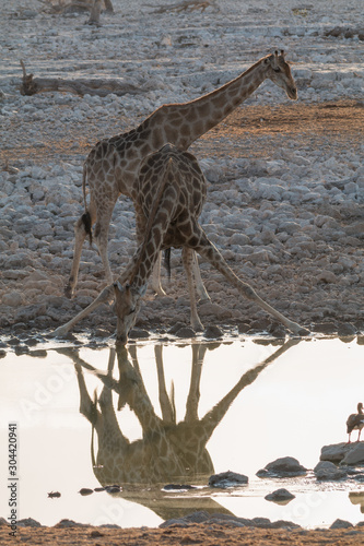 Giraffe at the waterhole during the sunset, Okaukuejo, Namibia, Africa