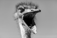 Ostrich Mouth In The Kalahari Desert, Namibia, Africa