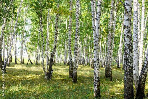 Fototapeta Green summer birch forest background texture obraz