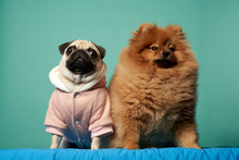 Spitz And Pug In Suit On Blank Blue Background