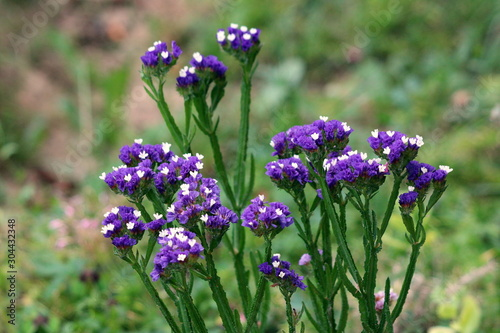 Closeup of Statice or Limonium sinuatum or Wavyleaf sea lavender or Sea lavender Canvas Print