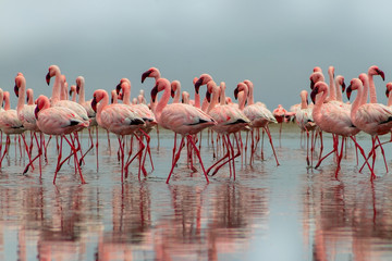 FototapetaWild african birds. Group of African red flamingo birds and their reflection on clear water. Walvis bay, Namibia, Africa