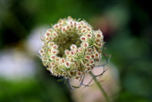 Wild Carrot Or Daucus Carota Or Birds Nest Or Bishops Lace Or Queen Annes Lace Biennial Herbaceous Plant With Partially Closed Flower Head And Clearly Visible Hairy Seeds Growing In Local Field On War
