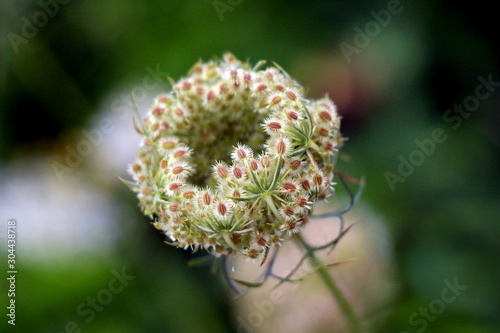 Wild carrot or Daucus carota or Birds nest or Bishops lace or Queen Annes lace b Canvas Print