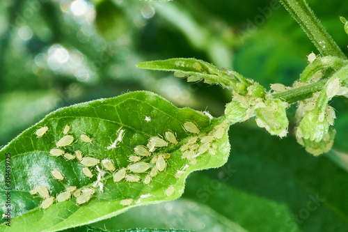 Photo small aphid on a green leaf in the open air