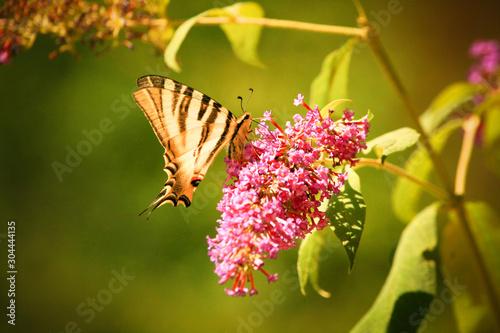 Cuadros en Lienzo Papillon