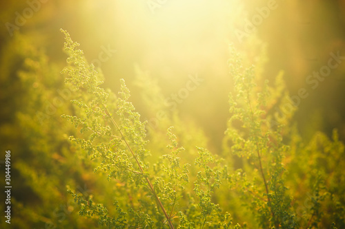 the stem and leaves of ambrosia in the sun at dawn Wallpaper Mural