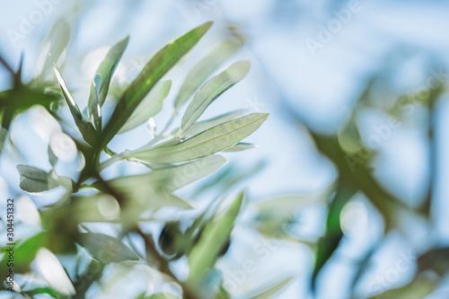 Close up sur les feuilles d'un olivier