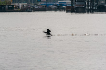 A Bird Taking Off In Flight After Swimming In The Water, On An Overcast And Rainy Morning, Jacksonville, Florida, USA