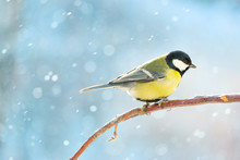 Great Tit On A Branch On A Sun...